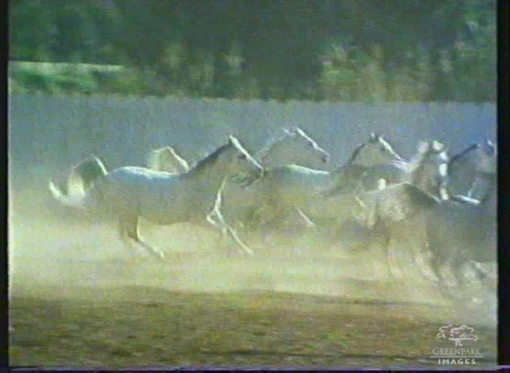 Horses in Jordanian Royal Stud